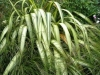 new-zealand-flax-phormium-tenax-green-limp