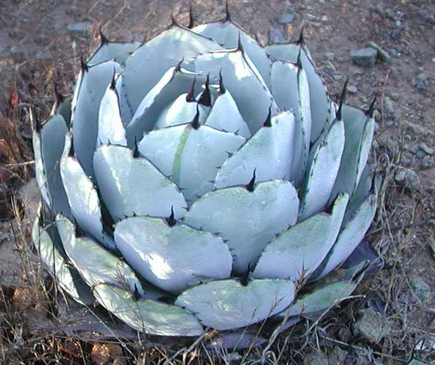 agave-parri-and-pup