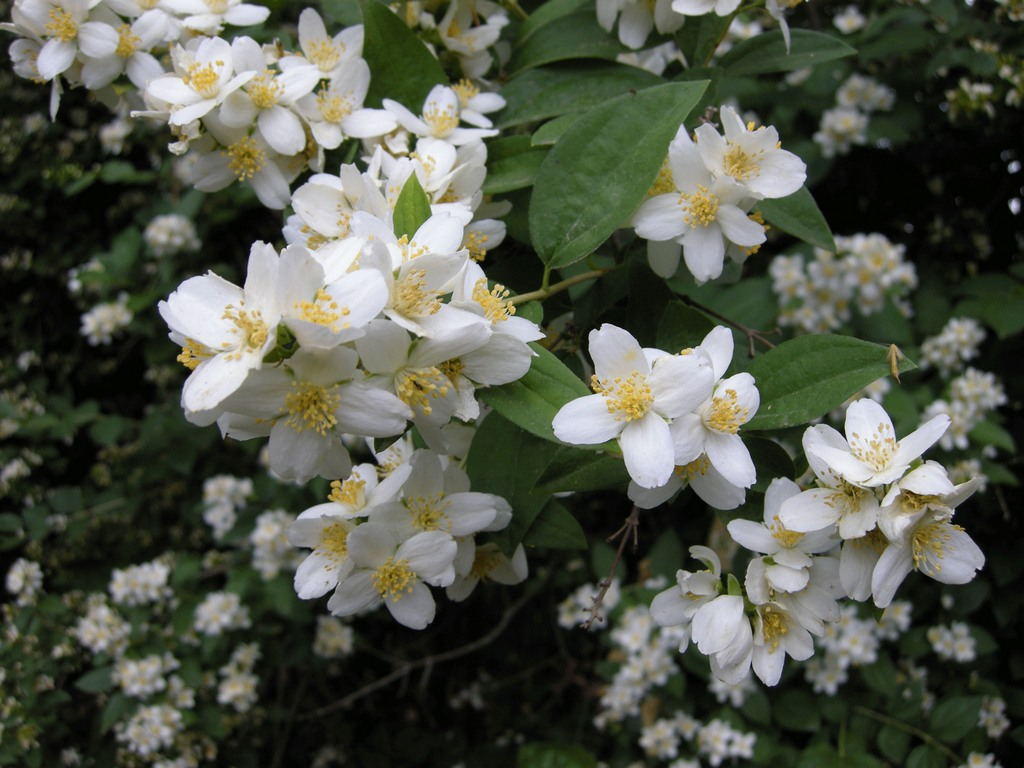 Carpenteria californica bush anemone