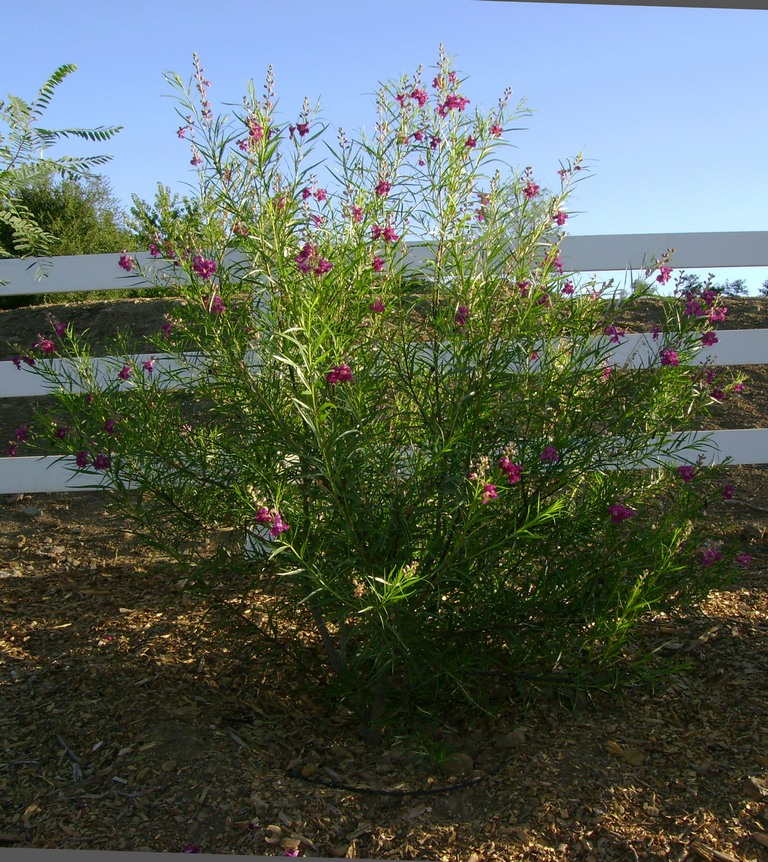 Chilopsis burgundy desert willow