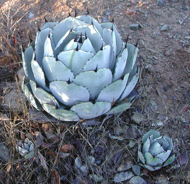 copy-of-agave-parri-and-pup
