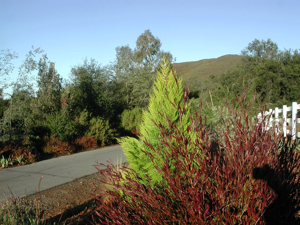 Cupressus macrocarpa golden monterey cypress and dodonea hop-seed bush