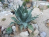 agave-weberi-reiners-selection