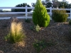Crupressus Yellow Monterey cypress dodonea hop-seed bush stipia mexican hair grass