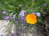 sis-bell-and-escholzia-californica