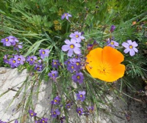 sis bell and Escholzia californica